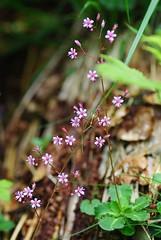 Pelouse fleurie (Col de la Core/Arige) (PierreG_09) Tags: fleur plante flor col pelouse flore pyrnes pirineos arige seix couserans lacore coldelacore
