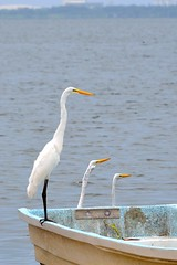 Garzas (emmanuel orbe) Tags: naturaleza white nature birds natural aves lagoon pajaros garzas