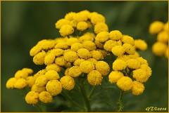 boerenwormkruid. (guus timpers) Tags: geel bloemen boerenwormkruid
