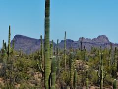 Saguaro #14 (jb10okie) Tags: park travel vacation arizona usa mountains america spring nps trails saguaro nationalparks saguaronationalpark 2013 westdistrict