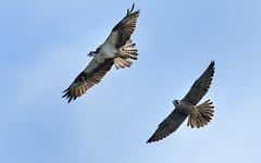 Peregrine Falcon and Osprey (snooker2009) Tags: bird nature fight wildlife flight falcon chase osprey peregrine dailynaturetnc13
