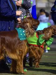 Irish Setters (swong95765) Tags: dogs animals pets irish setters festive event cute