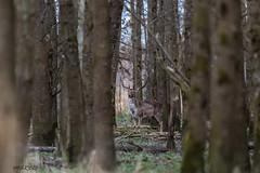 4D3A7779 (marcwalter1501) Tags: damadama daim forêts animaux selestat illwald 5dmk4 canon cervidé