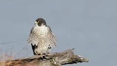 Peregrine Falcons mating (Greg Gard) Tags: pefa peregrine falcon peregrinefalcon falcons mating copulating courtship nj 1dxii video bird prey birdofprey threatened wild wildlife endangered