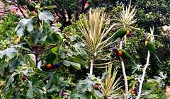 Lorikeets discover the fig tree (dw*c) Tags: lorikeet lorikeets parrot parrots bird birds australia victoria stkilda melbourne nikon picmonkey