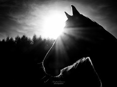 Horse Silhouette (steved_np3) Tags: horse silhouette ray light sun bw trees clouds animal