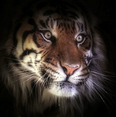Lurking in the shadows (10000 wishes) Tags: tiger bigcat portrait stare