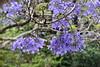 Jacaranda Flower Tree, Sydney (Manoo Mistry) Tags: nikon nikond5500body tamron18270mmzoom tamron australia sydney outdoor tourism tourist tree jacaranda flowers jacarandaflowers jacarandatree