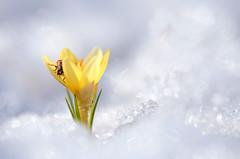 L'hiver se termine... (Nicole Barge) Tags: neige snow crocus coccinelle ladybug printemps spring macro macrophoto 2017 bokeh coccinelleasiatique