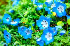 Nemophila in The Rain : 雨に濡れるネモフィラ (Dakiny) Tags: 2017 spring april japan kanagawa yokohama aoba ichigao outdoor nature field park plant tree flower nemophila bokeh blue nikon d7000 tamron 70300mm sp70300mmf456divcusd a005 modela005 nikonclubit