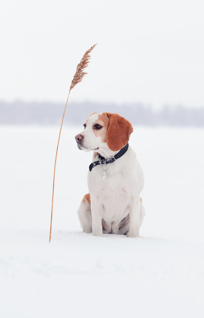 The world 39 s best photos of beagle and winter flickr hive mind - Keeping outdoor dog happy winter ...