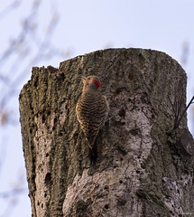 Flicker in Morning Light (swmartz) Tags: flicker woodpecker wildlife birds outdoors nikon nature newjersey mercercounty april