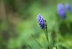Perlhyazinthe (Magreen2) Tags: hyazinthe perlhyazinthe blue green flower bokeh soft springfrühblüher early