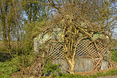 Tree-Shed (Kev Gregory (General)) Tags: i pass this most days even from road it looks amazing how tree has grown adapted itself around shed there derelict house nearby that like is about be sold hope trees future safe with new occupants kev gregory canon 7d chatteris a141 corrugated tin iron sheet