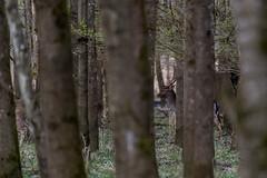 4D3A7796 (marcwalter1501) Tags: damadama daim forêts animaux selestat illwald 5dmk4 canon cervidé