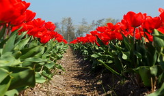 Bulbs (++Rob++) Tags: vogelenzang bulbfields bloembollenvelden tulpen tulips red rood