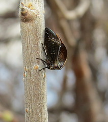 Treehopper (Bug Eric) Tags: animals wildlife nature outdoors insects bugs truebugs auchenorrhyncha membracidae treehopper treehoppers hemiptera cheyennemountainstatepark colorado frontrange rockymountains usa ceresa northamerica april152017
