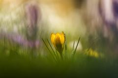 Krokus (louhma) Tags: krokus dof dephtoffield orange spring frühling colour color bokeh unschärfe wiese märz 2017 nature outdoor d750 kro krokusse plants tropfen drops trühling tamron 70200