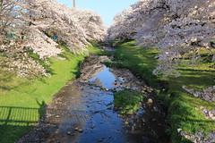 Cherry-Tree-Lined River (seiji2012) Tags: 桜 桜並木 根川緑道 シルエット cherrytree cherryblossom river negawa tachikawa