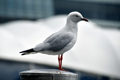 Seagull, Darling Harbour (Manoo Mistry) Tags: nikon nikond5500body tamron18270mmzoom tamron darlingharbour harbour sydney australia birds seagull cocklebay