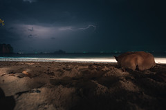 I was sitting and watching the late-night thunder roam over the sea. This fella was walking along the shore and just came over and laid down next to me. (Andre Taal) Tags: dog thailand night thunder sea water ocean lightning clouds beach shore