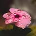 rosa 1