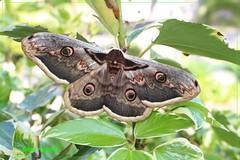 Falena (enzo.pascali) Tags: falena farfalla