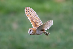 Barn Owl (Simon Stobart) Tags: barn owl flight flying south yorkshire england coth5 ngc npc
