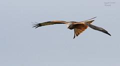 Red Kite Milvus Milvus (Pikingpirate1) Tags: scotland red kite raptor rspb ngc