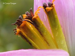 Banana´s flower (✿ Graça Vargas ✿) Tags: flower flordabananeira banana´sflower graçavargas ©2017graçavargasallrightsreserved pink 16307010417 ouropreto minas brasil