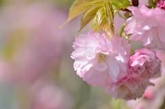 sakura (snowshoe hare*) Tags: dsc0218 sakura cherryblossoms 桜 さくら 海の中道海浜公園 botanicalgarden
