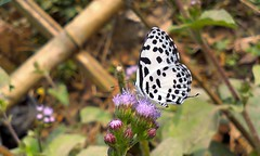 Butterfly (samim_hasan) Tags: bangladesh beautiful beauty black butterfly flower feni forest nature natural insect macro mobile phone parshuram desire htc dhaka
