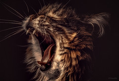 Roar (limebluphotography) Tags: portrait fur beauty animal roar brave proimaging wildlife teeth friend feline purr cat hunt play eat sleep fineart photography kitten claws courage strength pet family pride king toronto ontario canada nature weather beast kill