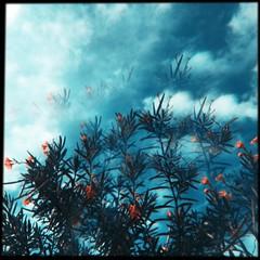space (meeeeeeeeeel) Tags: nuvens clouds céu sky squareformat abstract azul blue surreal hipstamatic iphone arvore árvoreflorida flor flowertree tree oleander espirradeira iphoneography miragefilter jellylens miragelens mirage