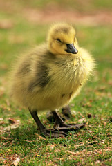Gosling needs a nap (speech path girl) Tags: gosling bird goose baby sleepy canadagoose