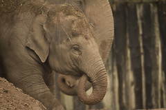 (_jypictures) Tags: elephant animalphotography animals animal canon7d canon canonphotography chester chesterzoo zoo zoophotography wildlife wildlifephotography nature naturephotography photography pictures jyphotography jypictures