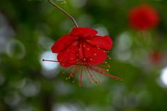 Hibiscus grandidieri Baill. (Red Chinese Lantern) (roland_zink) Tags: nature frankfurt hessen deutschland deu