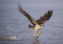 Freshly Plucked... (DTT67) Tags: osprey birds raptors birdofprey fishing hunting wildlife nature nationalgeographic canon 1dxmkii
