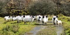 Spot the dog competition. (carolinejohnston2) Tags: countryside farm lane sheep wooly dog shaggy fermanagh ireland pet animals blackfaces