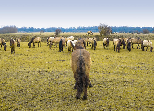 Konikpaarden Oostvaardersplassen.