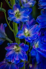 DSC_8752-Edit (pattyg24) Tags: delphinium waukeshafloral wisconsin blue flower nature plant spring