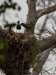 Hammerkop (Nanooki) Tags: malawi zambiamalawi2016 centralregion mw mangochi themakokolaretreat themakokolaretreatgolfclub bird hamerkop hammerkop hammerkopf hammerhead hammerheadstork umbrette umberbird tufted umber anvilhead nest