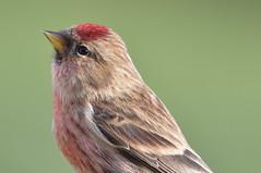 Redpoll (m) (Tom Kennedy1) Tags: redpoll cardueliscabaret finches irishwildlife gardenbirds gardenwildlife