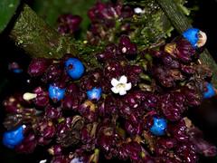 ES8_9166 (Eerika Schulz) Tags: puyo ecuador rio anzu blume blüte pflanze plant flower eerika schulz