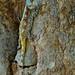 Southern Tree Agama (Acanthocercus atricollis) female