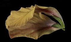 Reflecting On An Orange Hibiscus Petal (Bill Gracey 15 Million Views) Tags: hibiscus petal reflection mirror offcameraflash yongnuo trigger homestudio macrolens sidelighting filllight softbox