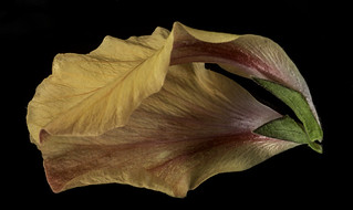 Reflecting On An Orange Hibiscus Petal