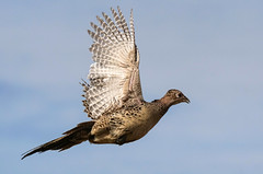 Pheasant - Hen[Explored] (BernieErnieJr) Tags: brighton colorado pheasant hen flight sunshine sony70400mmg2 sonya77mkii coloradowildlife wildlife frontrange greatphotographers teamsony rockymountains bernie duhamel