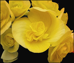 (Cliff Michaels) Tags: iphone iphone6 photoshop pse9 flowers kroger blossoms petals yellow