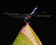 DragonFly_SAF0863-3 (sara97) Tags: copyright©2016saraannefinke dragonfly flyinginsect insect missouri mosquitohawk nature odonata outdoors photobysaraannefinke predator saintlouis towergrovepark